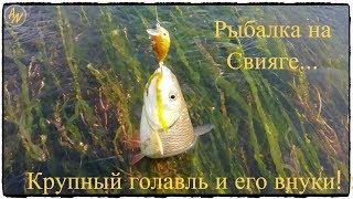 Рыбалка на Свияге.  Крупный голавль и его внуки!