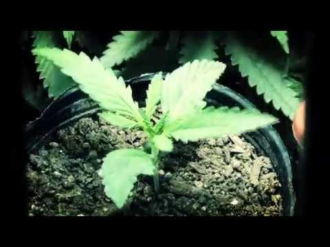 Cannabis Timelapse - Growing Video - Medical Drug Cannabis