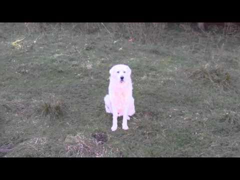 Maremma Sheepdog Family