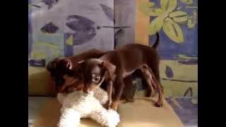 Купить щенка той терьера. 8-905-546-66-92,мини, РКФ.
