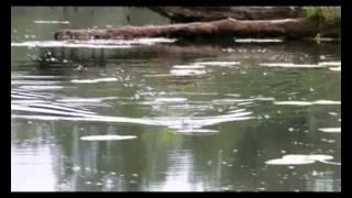 Bumble Lure Killer Popper video