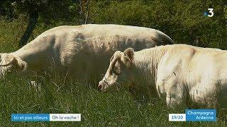 Découvrez les vaches de mai dans les Ardennes