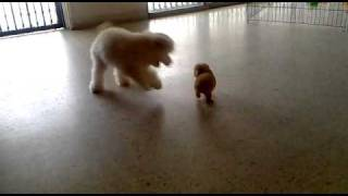 Tea Cup Vs Toy Poodle~~
