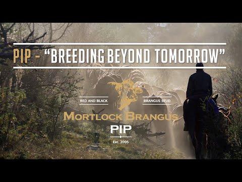 PIP Mortlock Brangus Stud