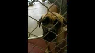Carole The Mastiff At Mahoning County Dog Pound In Youngstown Ohio - August 12 2013