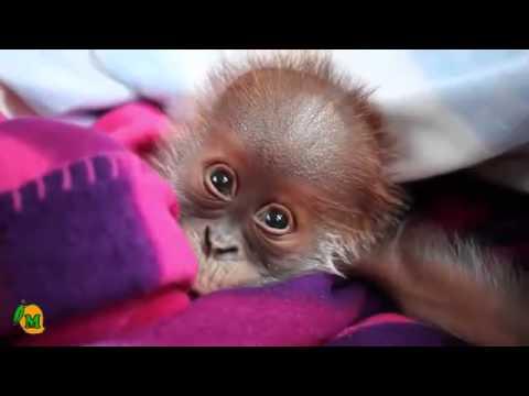 Orangutan – Tiny Reike is the Cutest Orphan