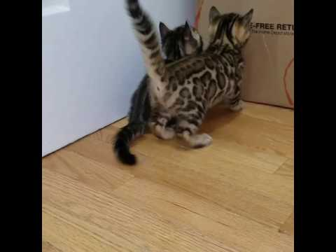 Bengal kittens fighting over a box