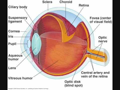 structure of human eye with diagram microstructures w fe fe3c phase 01 general anatomy youtube