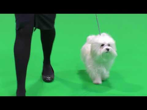 Havanese Dogs Crufts 2018