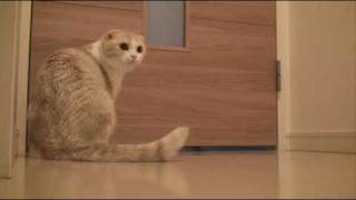 騒がしいスコ  My clamorous Scottish Fold