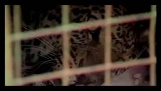 Dramatic Leopard Attack not for sensitive viewers