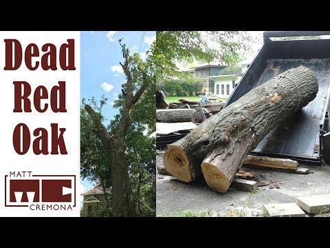 Big Dead Red Oak Removal and Hauling
