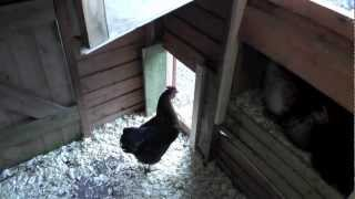 Chicken Coop Inside