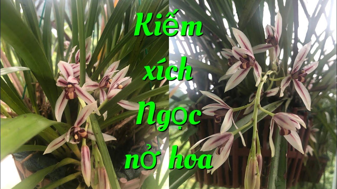 Khám phá hoa lan rừng/vẻ đẹp những bông hoa đầu mùa của loài lan kiếm xích Ngọc