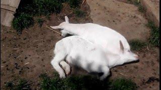 Radvanov - výlet, koza, kozel, kozička a kozlíček:) ňu ňu ňu