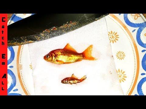GOLDFISH SUSHI! ** Exotic Taste Test**