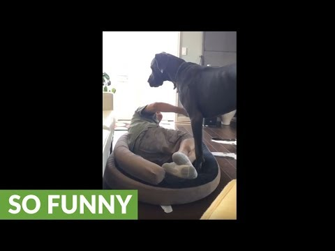 Here's why you don't mess with a Great Dane's bed