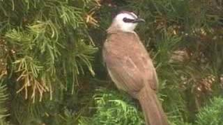 Gambar cover sound of Yellow-vented Bulbul