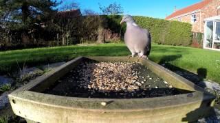 Garden Birds 1: Woodpigeon