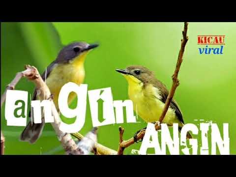 Download Lagu suara burung angin-angin/remetuk laut