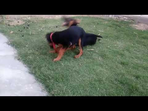 Doberman dog playing age 4 months and 15 days