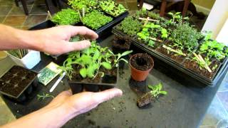 Three Minute Garden Tips: Growing Sage Indoors from Seeds to Transplants: The Rusted Garden 2013