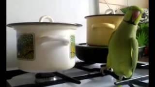 Кеша зеленый попугай хочет есть! Прикол(Кеша зеленый ожиреловый попугай хочет есть! Прикол funny parrot Talking indian ringneck parrot bird., 2008-03-29T16:51:57.000Z)
