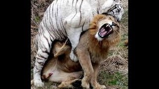 vuclip Brutal Tiger fighting with lion