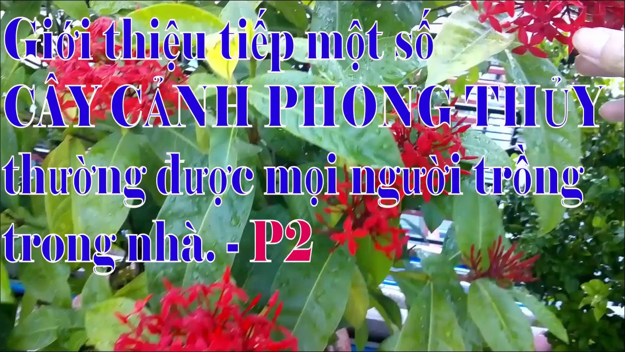 Giới thiệu tên gọi một số loại CÂY CẢNH PHONG THỦY mà nhiều người hay trồng trong nhà – P2