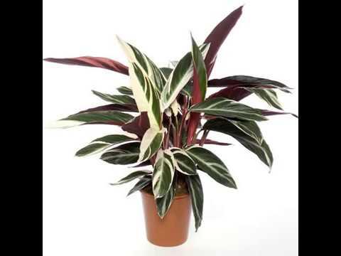 Капризное растение Калателия: виды, описание сортов и фото