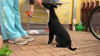 Border Kelpie Puppy Clicker Training