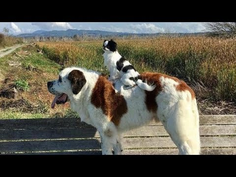 Big Dog Carries Little Dog Everywhere They Go