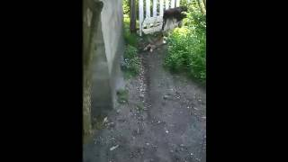 Собаки Рекс и Чапка