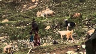 Herd Of Sheep And Goats Grazing In Himalayas