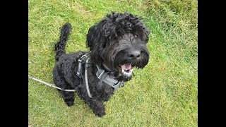 Ashur the Portuguese Waterdog - 3 Weeks Residential Dog Training