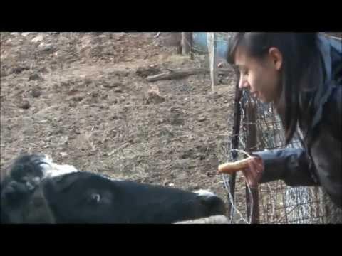 Kiss-a-Cow 2013