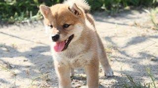 柴犬専門ブリーダー・犬舎の子犬販売 柴犬.net ID:1616 http://www.shib...
