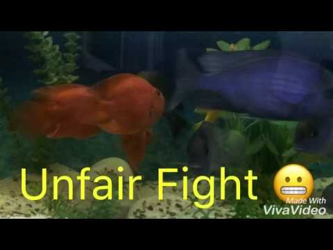 red parrot fish and Blue Dolphin chiclid Fight