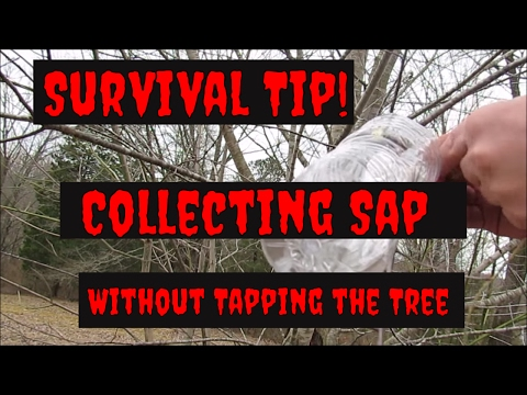 Sap Collecting without Tapping the Tree