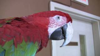 Big Bird Green Winged Macaw From Five Points Pet Resort