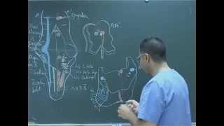Organisation interne du tronc cérébral : Les noyaux nerfs craniens