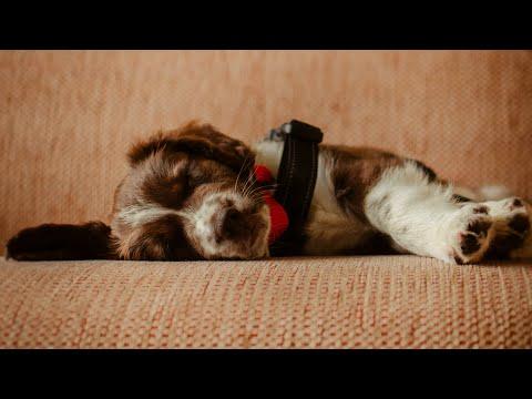Getting a Sprollie Puppy  Springer Spaniel Cross Border Collie