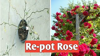 in this video I will tell you how to Re-pot a climbing rose very Easy way My new channel share & Subscribe https://www.youtube.com