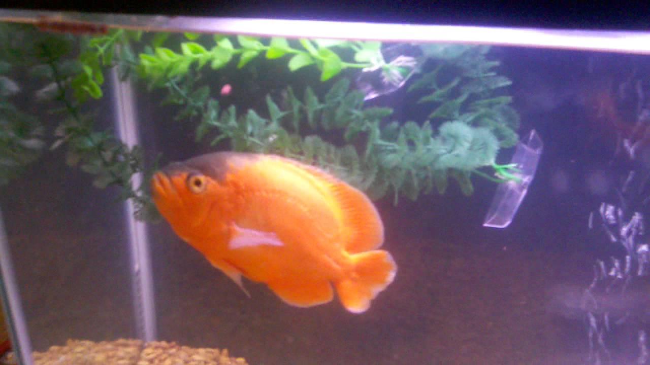 lemon oscar fish - photo #31