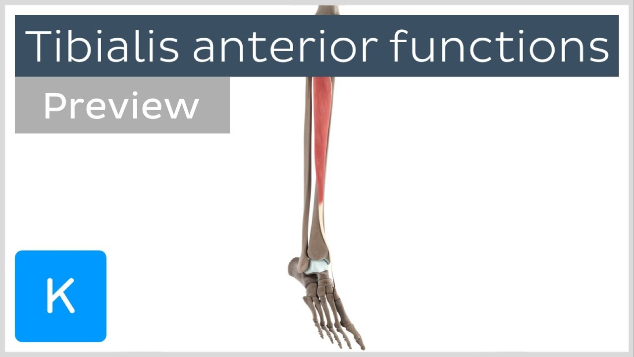 Functions Of The Tibialis Anterior Muscle Preview 3d Human
