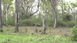 Mudumalai Wild Life Sanctury Videos - Langur Monkey Home