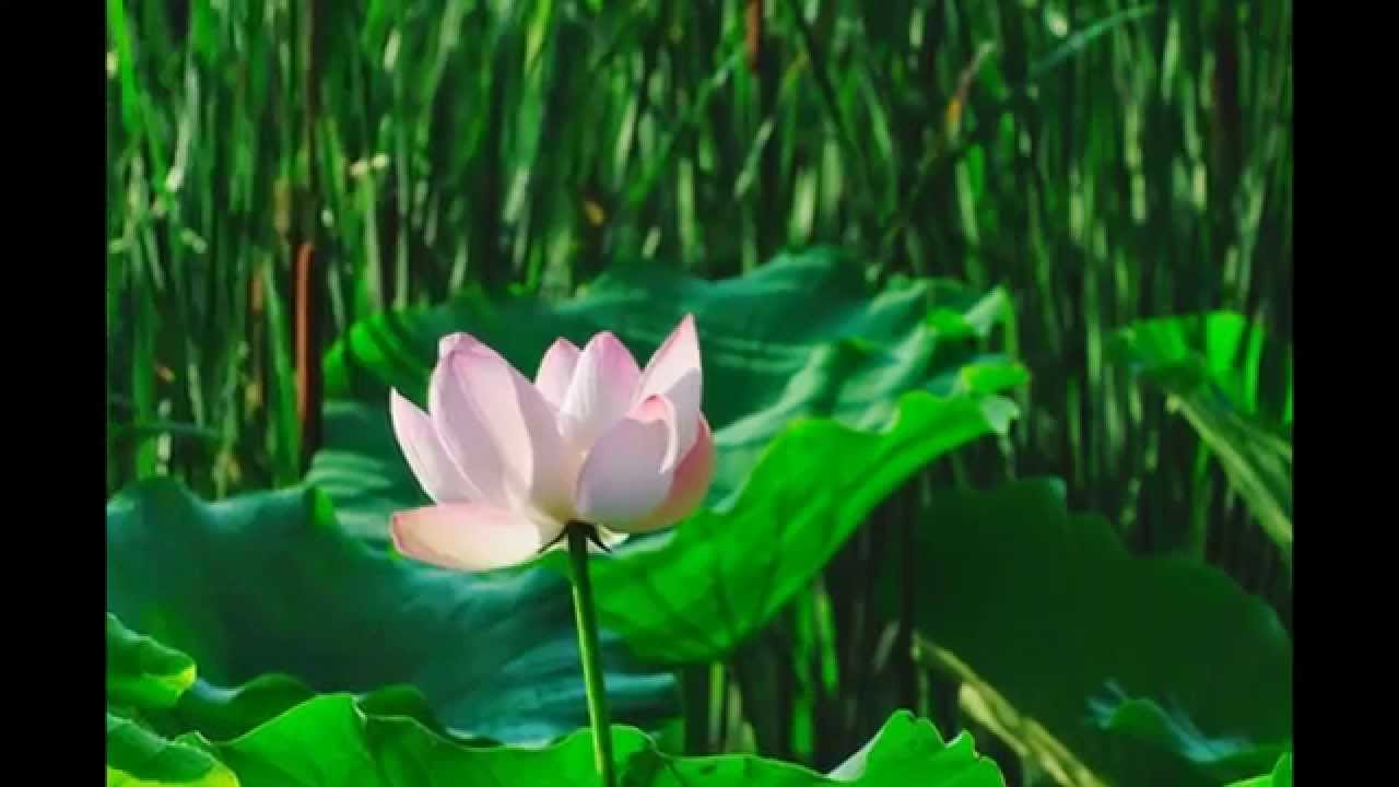 Beautiful lotus flower blooms in the mud beautiful lotus flower blooms in the mud youtube izmirmasajfo Image collections