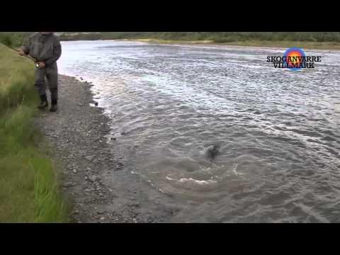 Salmon 18 kg Lakselva / Skoganvarre