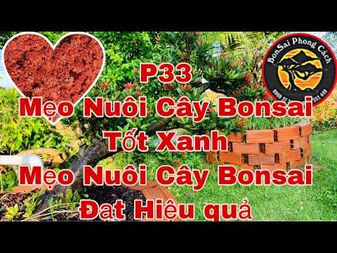 ✅ Cách Chăm Sóc Bông Trang Bonsai P 33 | Cách Nuôi Bonsai Xanh Tốt Đạt Hiệu Quả | Nuôi Bông Trang