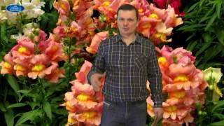 видео Урсиния: выращивание из семян, посадка, уход, фото